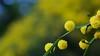 Yellow balls of wattle