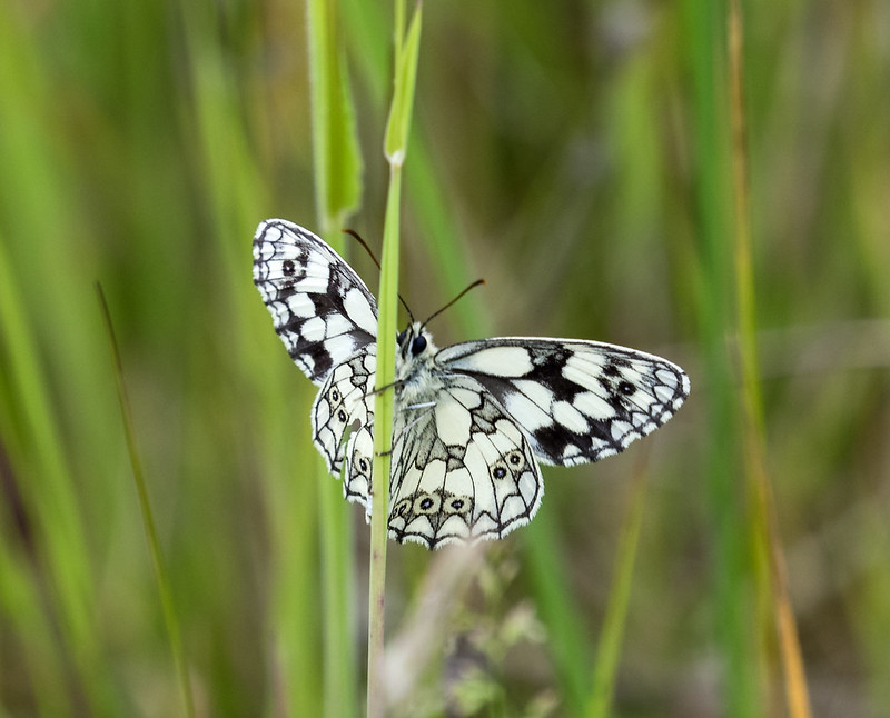 marbled white butterfly 468 (348)