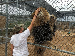 Lion habitat in Henderson Nevada