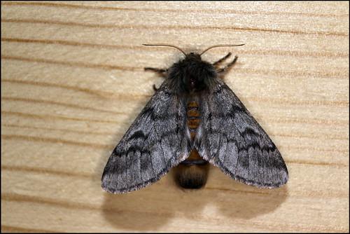 Traça Processionária-do-pinheiro (Thaumetopoea pityocampa) - Pine Procession Moth