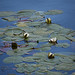 ON BLUE WATER… NENUPHAR by magda indigo