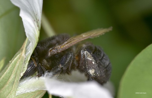 Apidae>> Apinae>> Meliponini>> Melipona