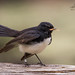 Wagtail with snack by Jennie Stock