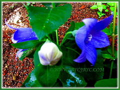 Voilet-blue flowers and bud of Platycodon grandiflorus (Balloon Flower, Chinese/Korean/Japanese Bellflower), Nov 18 2013