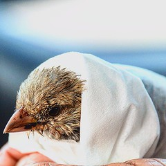 The #little #sparrow we #rescued from the #sea at #busaiteen  #beach #Bahrain #coast #muharraq #bird #wet #water