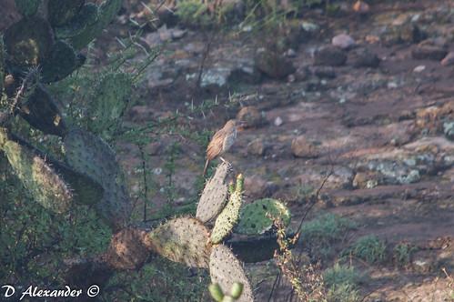 Cuitlacoche picocurvo