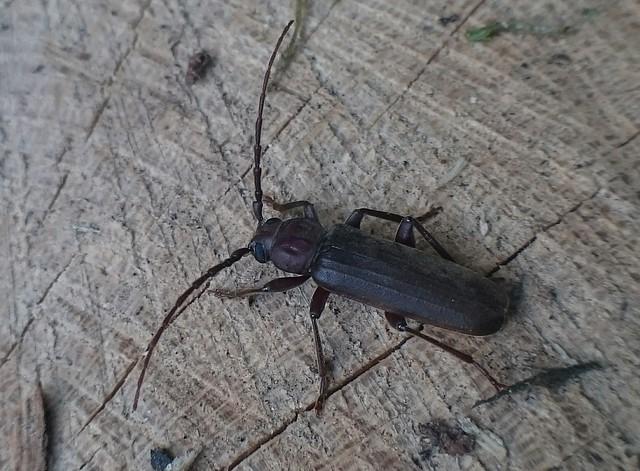 Arhopalus rusticus - gödrösnyakú cincér