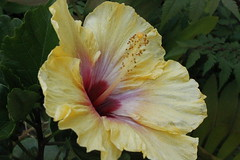 flower, yellow, malvales, flora, chinese hibiscus, petal,
