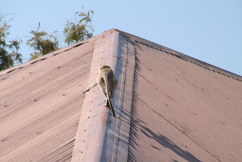 Vervet monkey on the roof