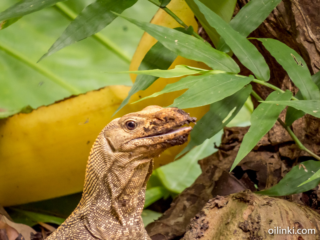 Monitor Lizard eating a toad