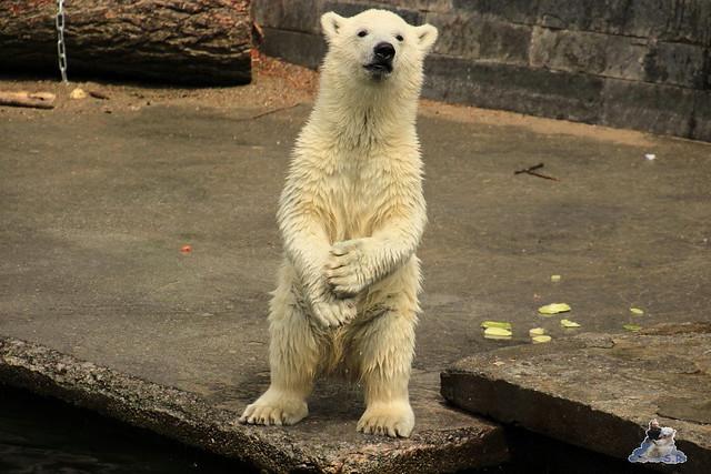 Eisbär Fiete im Zoo Rostock 12.07.2015 0170