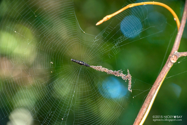 Trashline orb weaver (Cyclosa sp.) - DSC_5328