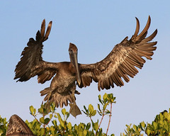 Pelican Angel Landing