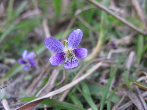 Viola betonicifolia flower2