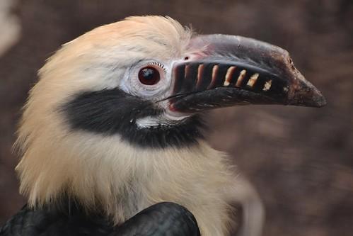 Visayan Tarictic Hornbill (Penelopides panini panini)