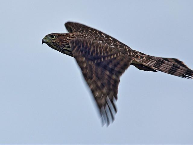Cooper's Hawk 02-20150802