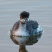 A87A2240 Black-necked grebe by steve.ray50