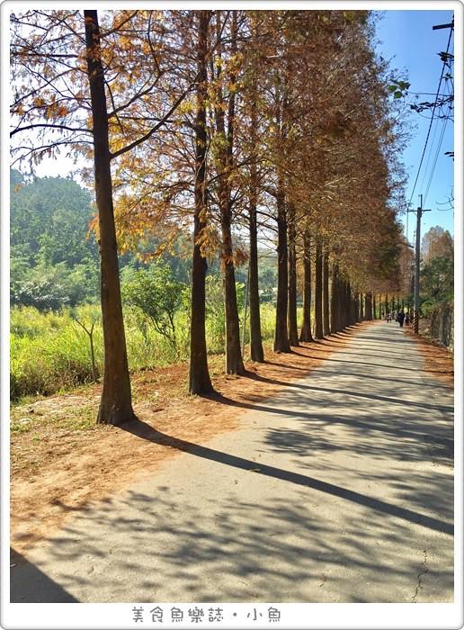 【雲林古坑】桂林村落羽松秘境/熱門景點
