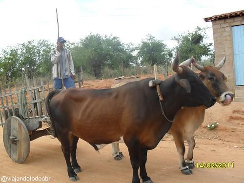 Carneiros - Carro de boi
