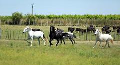 Les chevaux au galop.