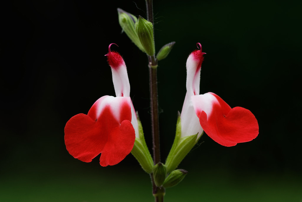 The red-and-white flowers of salvia Hot Lips