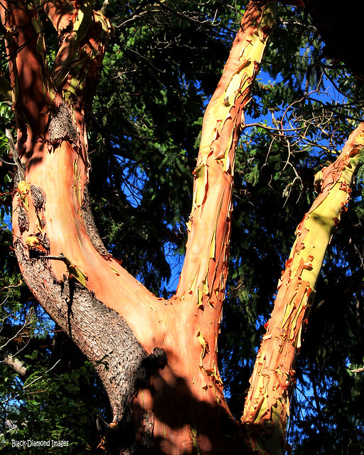 Arbutus menziesii - Pacific madrona, madrone - Olympic Highway, Lake Crescent, Washington, USA