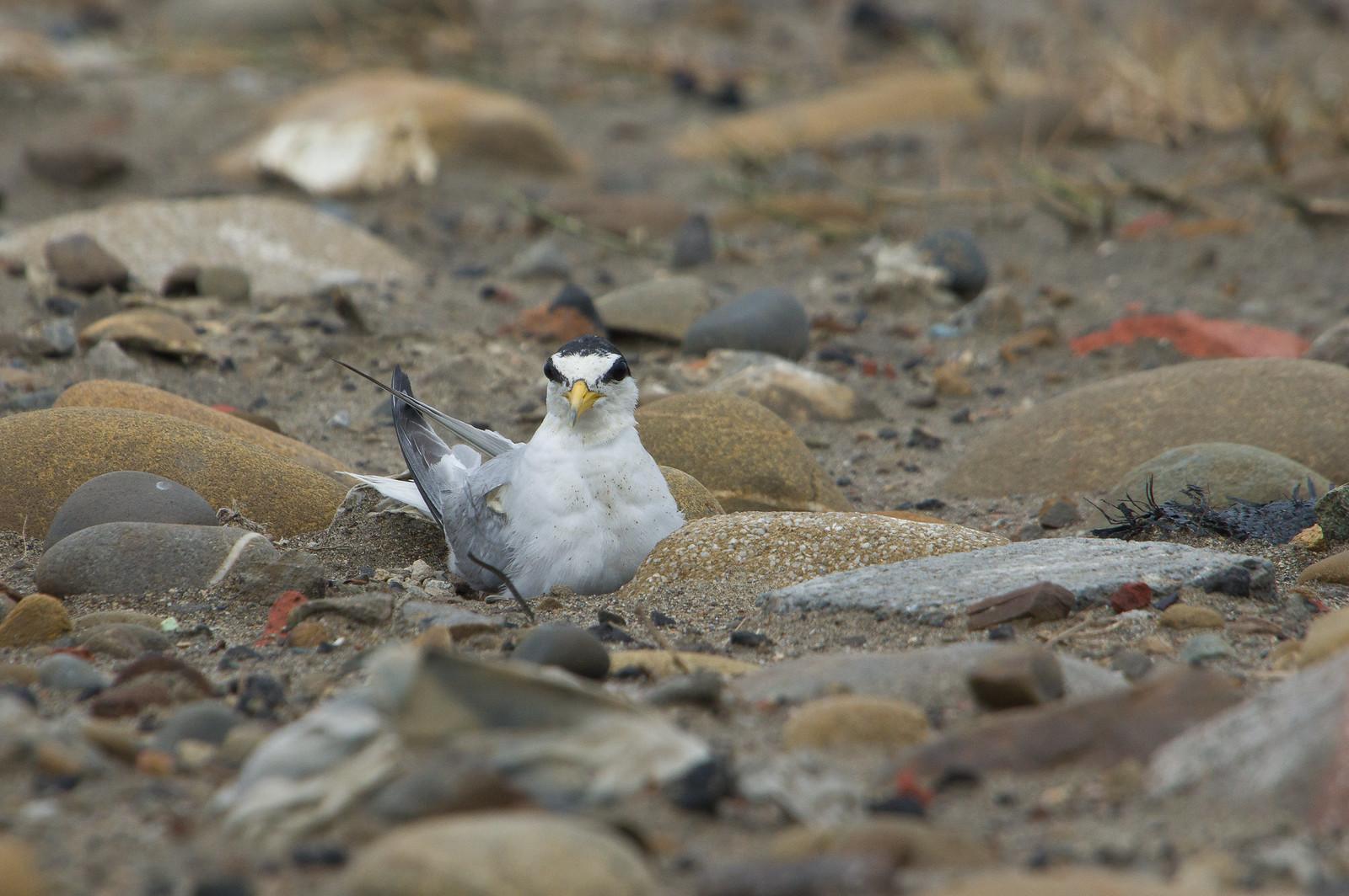 小燕鷗孵蛋記