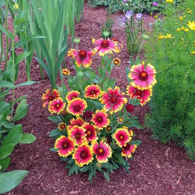 This blanket flower has been such a good little performer.