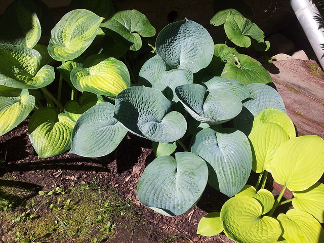 Hostas 'Paradigm', 'Abiqua Drinking Gourd' & 'August Moon'