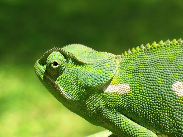 camaleon verde con varios colores
