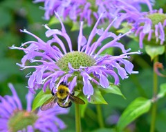 nectar(0.0), purple coneflower(0.0), annual plant(1.0), flower(1.0), bee balm(1.0), macro photography(1.0), membrane-winged insect(1.0), herb(1.0), wildflower(1.0), flora(1.0), meadow(1.0), bee(1.0),
