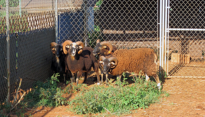 Four small dark brown rams with tightly curled horns clustered in a fenced corner