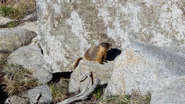 Teenage marmot, m818