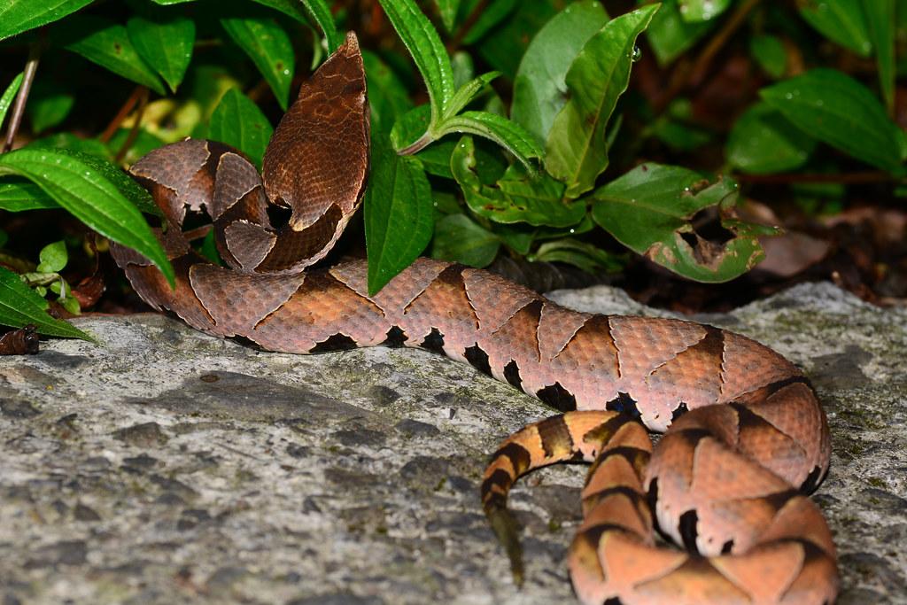 Hundred Pacer Snake as Found 2