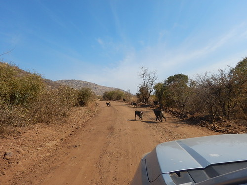 Troop of baboons crossing the road
