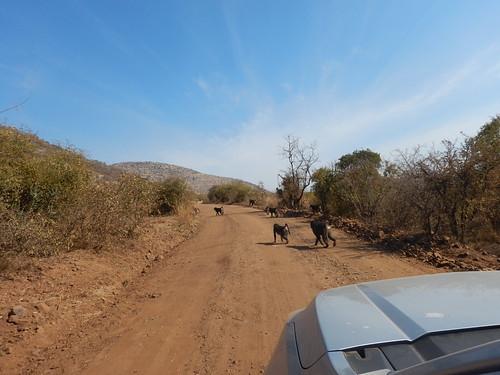 Troop of baboons crossing the road