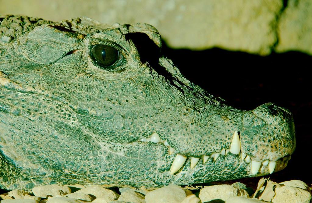 Dwarf Crocodile (Osteolaemus tetraspis)_3