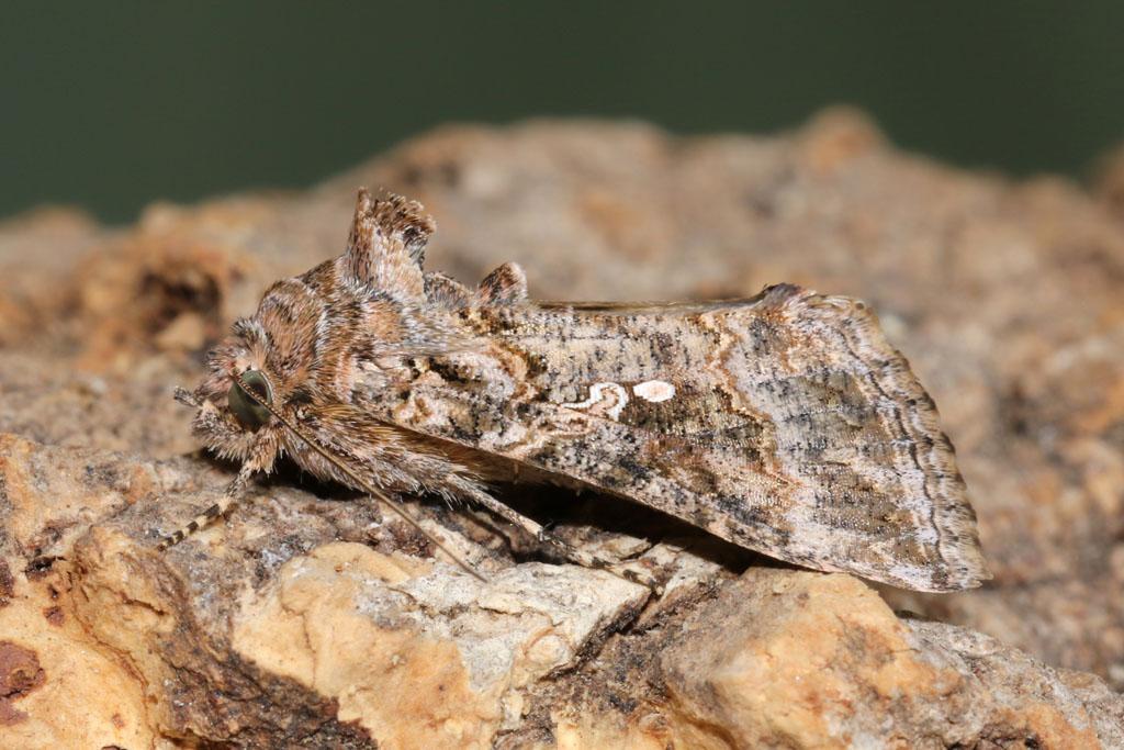 Trichoplusia ni - Ni Moth | This is an immigrant moth to Bri