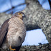 this African Goshawk was very obliging