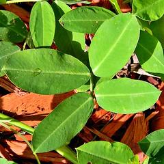 Arachis hypogaea - Peanut
