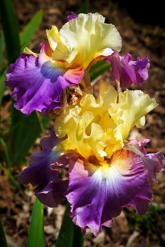 Bearded Iris Purple and Gold