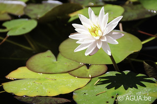Waterlelie Starbright / Nymphaea Starbright