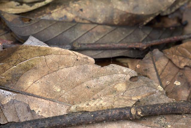 Dead leaf grasshopper (Caelifera)