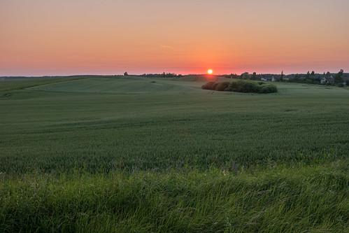 sunset saulriets labība
