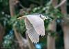 Heron in Flight by m e a n d e r i n g s