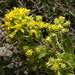 Goldenrod, Mount Lemmon Trail