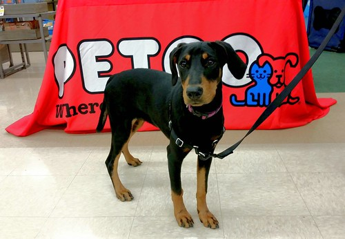 Doberman Puppy at Petco Puppy Training Class - Lapdog Creations