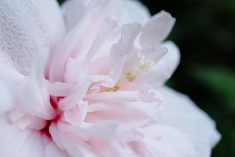 芙蓉 / Hibiscus mutabilis