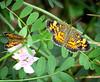 2 butterflies on crownvetch
