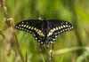 Black Swallowtail by PrettyCranium